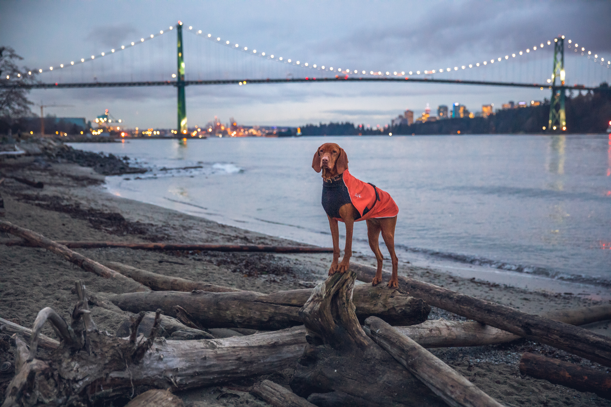 Dog on beach with lionsgate bridge